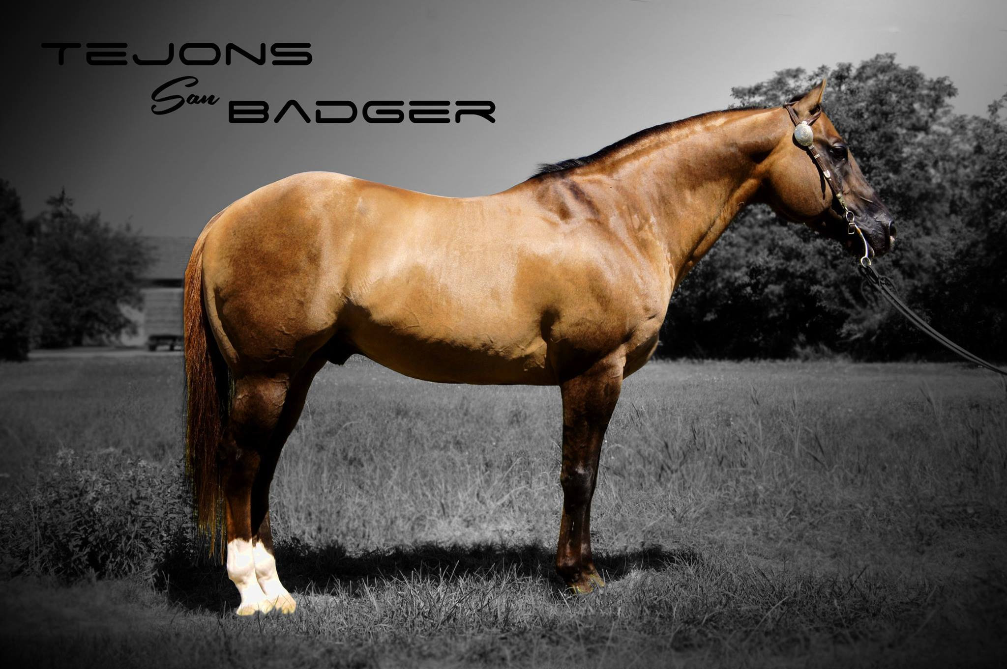 tejons san badger 2015